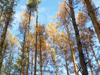 FAO experts will study the Belarusian experience of combating drying of pine plantations